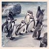 Penguins at Folly Farm