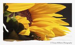 The Sunflower - Helianthus annuus (TraceyWilliamsPhotography) Tags: orange sun flower macro yellow canon sunny seeds sunflower bloom bouquet annual tamron inflorescence homestudio florets helianthusannuus plumule