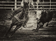 Chased by the Bull at the Rodeo (` Toshio ') Tags: ranch blackandwhite bw horse monochrome animals sepia pen fence mammal cow movement cowboy boots action running run rope bull dirt riding rodeo rider charge ch
