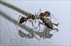 Ants (Sue90ca Let The Holidays Begin :)) Tags: 3 reflection canon table eating ant leg 28 60mm unanimous 60d thechallengefactory