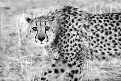 cheetah3 (Domitilla Asquer) Tags: world africa bw bn cheetah mammals viaggi mondo mimetismo ghepardo mammiferi domitillaasquer