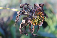 Withered (Read2me) Tags: flower dead dying decay echinacea brown dof bokeh she pregamewinner duele friendlychallenges challengeyouwinner gamewinner tcfunanimous thechallengefactory dried challengeclubwinner