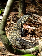 Manuel Antonio 279 (xotico) Tags: naturaleza verde mar costarica natural selva playa animales manuelantonio reserva salvaje xotico xoticosphotos