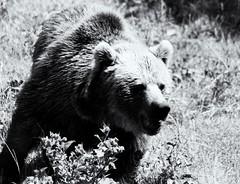 SAM_4425 (silver cowboy) Tags: bear blackandwhite bw samsung nx10