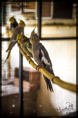 Chirping in tranquility (FaranRafi) Tags: pakistan wild pets bird love home birds yellow canon grey asia parrot cage domestic parrots islamabad d650