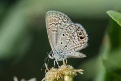 ceraunus blue (explored 11/16/2013) (robert salinas) Tags: butterflies a57