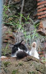 Occhi verdi - Via Ostiense - Roma (spalluzza) Tags: roma gatto gatti