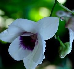 Delicate Beauty (-Reji) Tags: light sun sunlight white orchid flower beautiful beauty petals drops nikon shine bokeh lovely delicate subtle d90 loveliness orchidflower rejik ffragrance