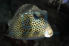 2008-09 HERBLAND MARTINIQUE SPOTTED TRUNKFISH LACTOPHRYS BICAUDALIS 9874