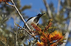 Blue-faced Honeyeater ~ Entomyzon cyanotis ~ Mount Molloy School (Rowettia) Tags: birds australia queensland bluefacedhoneyeater entomyzoncyanotis mountmolloy