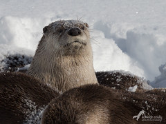 Lookout Post (Ashleigh Scully) Tags: riverotter riverotters grandtetonnationalpark oxbowbend otterfamily riverotterfamily