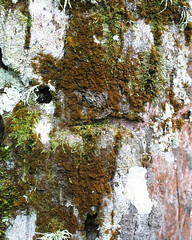 Trentepohlia sp. 2 (fredbrooks2013) Tags: americansamoa chlorophyta trentepohlia commensalism trentepohliales cephaleuros