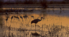Twilight Patrol -- Sandhill Cranes (Grus canadensis); Ladd Gordon Waterfowl Complex, Bernado, NM [Lou Feltz] (deserttoad) Tags: sunset mountain newmexico nature landscape pond desert crane flight scenic refuge silhouettte wildbird