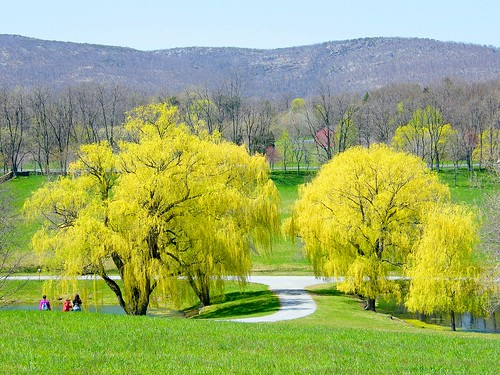 Yellow Willow Trees