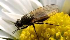 moscerino (Imad Z. ) Tags: italy macro nature zeiss fly italia photographer sony natura bugs carl imad iraqi mosca insetto fotografo colorata          iracheno zebala
