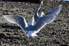 A competition arises (Tynan Phillips) Tags: sea sun sunlight seagulls canada bird beach nature birds animal animals flying wings bc britishcolumbia wildlife seagull gull gulls flight wing feathers sunny denmanisland