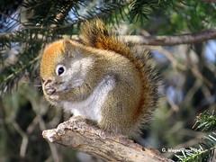 American Red Squirrel (Tamiasciurus hudsonicus) - Hersey Lake Conservation Area - Timmins Ontario Canada (Gerald (Wayne) Prout) Tags: canon squirrels animalia mammalia rodentia sciuridae tamiasciurushudsonicus chordata americanredsquirrel herseylakeconservationarea canonpowershotsx50hs timminsontariocanada tamissciurus