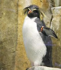 Rockhopper Penguin (Pauline Brock) Tags: zoo penguin montreal biodome rockhopper
