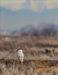 Snowy Owl (Daniel Behm Photography) Tags: winter canada snowy britishcolumbia owl boundarybay snowyowl whiteowl irruption behm danielbehm
