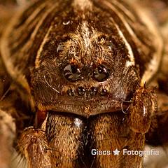 62/365 (giacsfotografia) Tags: macro nature square spider eyes 365 orientation huntsman 600d canonef100mmf28lmacroisusm symmetrypatterns 3652014