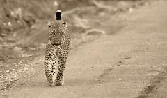 Sepia Leopard (Thomas Retterath) Tags: africa nature animals canon tanzania tiere wildlife urlaub natur adventure safari leopard afrika serengeti predator mammals allrightsreserved carnivore bigfive tansania felidae pantherapardus säugetier seronera abenteuer 600mm raubtiere 2013 sacrednature 20tc fotocompetition fotocompetitionbronze thomasretterath canoneos5dmarkiii canonef300lis28usm blinkagain copyrightthomasretterath