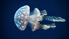 (marina~) Tags: toronto canon aquarium jellyfish jelly float ripleysaquariumofcanada