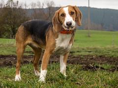 flickrStream-0294.jpg (ralf.attula_public) Tags: hund dunja deutschebracke