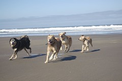 DOGS AUTZEN COOPER HONEY OURS JULY (2) (coopersdogpatch) Tags: beach dogs honey cooper sammy ours autzen