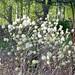 Dwarf Fothergilla (Fothergilla gardenii)