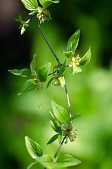 Cornelian cherry / Cornus mas (stoplamek) Tags: corneliancherry cornusmas kornelkirsche europeancornel dereńjadalny dereńwłaściwy