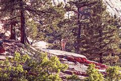 Bighorn Sheep in Zion National Park, Utah (julesnene) Tags: park travel nature animal landscape utah us nationalpark sandstone unitedstates desert sheep wildlife canyon cliffs adventure zion wilderness zionnationalpark kanab desertbighornsheep bighornsheep americansouthwest oviscanadensis utahrocks julesnene juliasumangil canon7dmarkii canon7dmark2