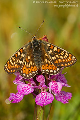 Beauty on Beauty - Marsh Fritillary on Heath Spotted Orchid (gcampbellphoto) Tags: flower macro nature fauna butterfly insect flora wildlife northernireland wildflower ballycastle northantrim heathspottedorchid marshfritillary gcampbellphoto