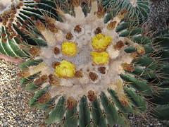 Echinocactus (wallygrom) Tags: cactus england cacti westsussex succulents angmering closingdown cactuscollection manornursery manornurseries july2015