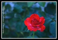 #red #rose #red_rose #roses #romance #jordan #amman# # # # #red_roses #love#  # #_ # # # (alrayes1977) Tags: red roses love rose redrose amman jordan redroses