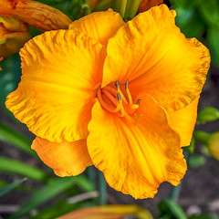 Blossom -26- (Jan 1147) Tags: blossom bloei bloem bloemen flower flowers natuur nature lovendegem belgium hemerocallis daglelie outdoor buitenopname geel yellow