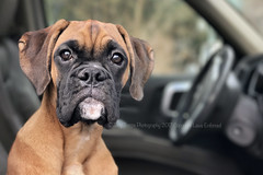 We're home! (dog ma) Tags: faith dark fawn boxer puppy dog ma cute adorable jodytrappephotography iphone 7 plus
