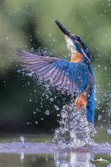 Kingfisher (Mr F1) Tags: kingfisher alcedoatthis johnfanning bif birdsinflight electricblue wild nature water detail closeup smallbirds dof