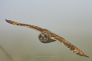 short-eared owl in thick fog