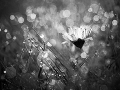 Prise dans la rosée. (steph20_2) Tags: panasonic lumix m43 45mm macro closeup fleur flower gh3 monochrome monochrom noir noiretblanc ngc blanc black bw white skanchelli bokeh