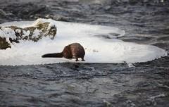 American mink (Neovison vison) (IngridFoto) Tags: american mink neovison vison