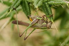 DSC_1200 (DigiPhotus) Tags: digiphotus vespa esperança mantispídeo insect insectos inseto insetos insetto insekt insecte insekter insekte insekten insecten insetti insektet insectes izimbali macrodreams