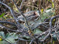 Green Heron (larryyorknh) Tags: birds floridakeys