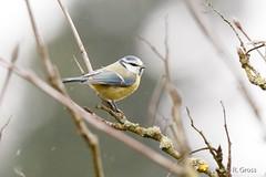 Blaumeise 26 (rgr_944) Tags: vögel vogel bird oiseau tiere animaux animals natur outdoor canoneos80deos7dmk2 rgr944