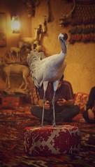 Sandhill Crane (7a91d07a20414c8d04888dcc30559d78) Tags: lowlight ksa saudiarabia marth 50mmf18 2017 a65 sony القصيم بريدة qassim buraydah طيرة bird ptica sandhillcrane
