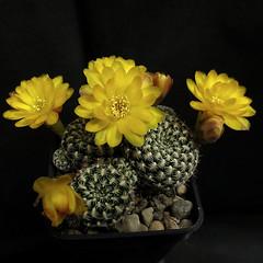 Sulcorebutia langeri VJ120 '372' (Pequenos Electrodomésticos) Tags: cactus cacto flower flor sulcorebutia sulcorebutialangerivj120