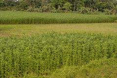 Assam_084 (SaurabhChatterjee) Tags: assam countryside guwahati httpsiaphotographyin india lakhimpur rural saurabhchatterjee siaphotography tea teagardens tezpur village