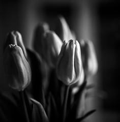 Tulips for sunday (Nobusuma) Tags: hasselblad hasselblad500cm zeiss zeissplanar 80mm f28 6x6 film analog mediumformat tulips ハッセルブラッド 中判写真 フィルム アナログ モノクローム 花 monochrome bw fuji fujifilm fujiacros neopan 100iso caffenol caffenolcm selfdeveloped developedathome homemadesoup