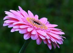 Gerbera (sunbeem - Irene) Tags: gerbera flower gerberaflower gerberadaisy macro closeup pink africandaisy transvaaldaisy hiltondaisy perennial daisy