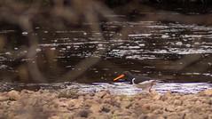 Oyster catcher (Barry Folan) Tags: birds birding birdwatching oystercatcher river speyside spey badenoch highlands scotland pentaxart pentaxk1 nature naturephotography