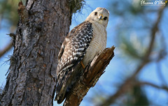 """Look over your shoulder.  There I'll be waiting so patiently."" (Shannon Rose O'Shea) Tags: shannonroseoshea shannonosheawildlifephotography shannonoshea shannon redshoulderedhawk hawk bird branch raptor trees tree lakerianhard celebration florida flickr wwwflickrcomphotosshannonroseoshea nature wildlife wings beak feathers perch bluesky canon canoneos80d canon80d eos80d 80d canon100400mm14556lisiiusm outdoors outdoor outonalimb thelook bokeh colorful"